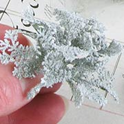 Dusty Miller Bushes - Set of 6